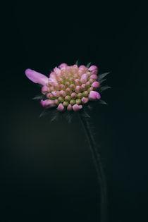 Wiesen-Witwenblume von Mike Ahrens