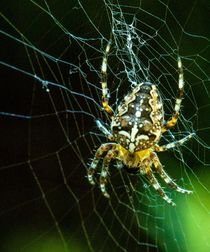 Spiderweb Kreuzspinne by Christine Maria Grosche