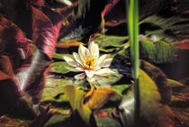 Water Lilly by Peter Hebgen