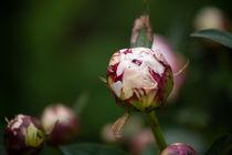 Pfingstrosenblüte geschlossen von Petra Dreiling-Schewe