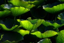 Water Lilly Leaves by Peter Hebgen