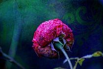 Purple Rose by Peter Hebgen