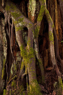 Tree Roots by Jim Corwin