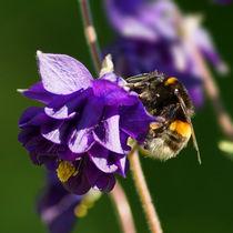 Hummel auf Akeleiblüte, bumblebee von Sabine Radtke