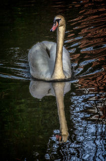 A Swan On The Kennet by Ian Lewis