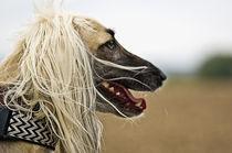 Afghanischer Windhund von Heidi Bollich