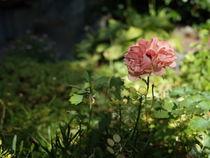 Blume im besten Licht von Dario Lauper