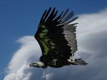 Junger Kondor von kattobello