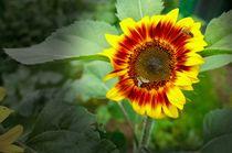 Begehrte Sonnenblume von Dario Lauper
