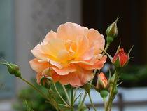 Orange Rose by Zarahzeta ®