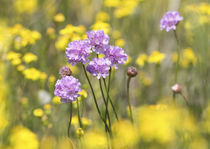 lila Blüten umgeben von gelben Blüten von koroland