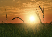 Sonnenuntergang am Kornfeld von koroland