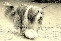 Digital Art Bearded Collie von kattobello