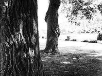Alte Bäume von Dario Lauper