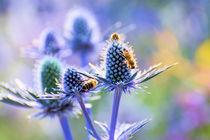 Blaue Edeldisteln mit Bienen  von Astrid Steffens