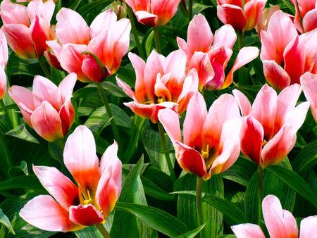 Tulpe2