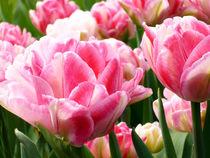 rosa Tulpen von Peter Holle