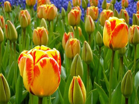 Tulpe6