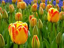 Tulpen von Peter Holle