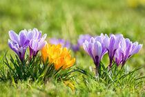 Krokusse im Frühling von Astrid Steffens