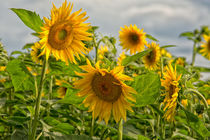 Sonnenblumenfeld von Astrid Steffens
