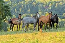 Pferde auf der Weide von Astrid Steffens
