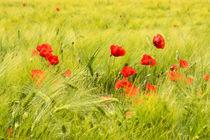Mohn im Getreidefeld von Astrid Steffens