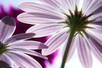Blütendach im Sonnenlicht von dirk driesen