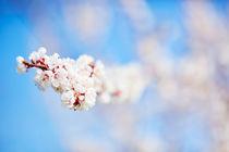 Weiße Apfelblüten vor blauem Himmel von sven-fuchs-fotografie