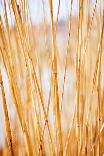 Schilfrohr im weichen Sonnenlicht am Bodensee von sven-fuchs-fotografie