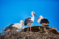 Ein Storch in seinem Nest von sven-fuchs-fotografie