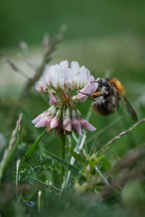 Hummel am Klee by Mike Ahrens