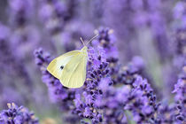 Schmetterling im Lavendelfeld von Astrid Steffens