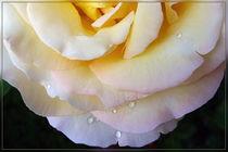 Yellow pink petals von feiermar