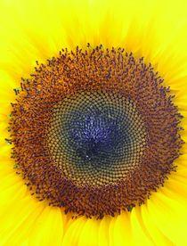 sunflower von Ingrid Bienias