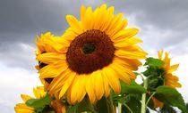 Sonnenblume von Ingrid Bienias