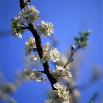 KIRSCHBLÜTEN. Weiße Kirschblüten an einem Ast baum mit blauem Himmel von li-lu