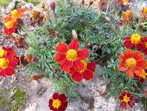 Gewürztagetes, Tagetes tenuifolim, mit Blüten in Rot und Gelb  von Heike Rau