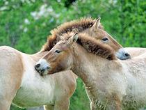 Zärtliche Pferde von Christoph  Ebeling
