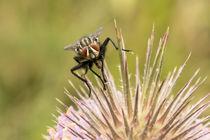 Fliege von Astrid Steffens