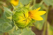 Sonnenblume 1 von Astrid Steffens