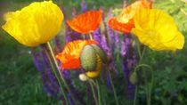 Farbenspiel poppy by geschichtenmacherin