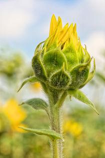 Sonnenblume  am erblühen von Astrid Steffens