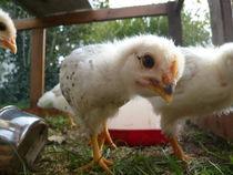 neugieriges Küken - curious chick by geschichtenmacherin