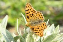 Schmetterling von Astrid Steffens