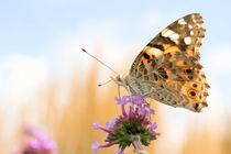 Schmetterling auf Blume - butterfly- von Astrid Steffens