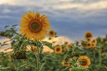 'Sonnenblumen vor Gewitterwolken' by Christine Horn