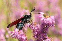 Schmetterling - Widderchen by Astrid Steffens