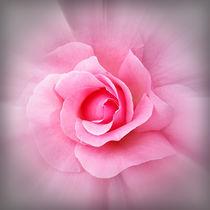 Pink rose petals by feiermar