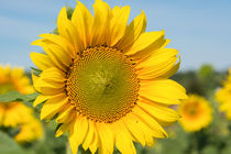'Sonnenblume' by Astrid Steffens